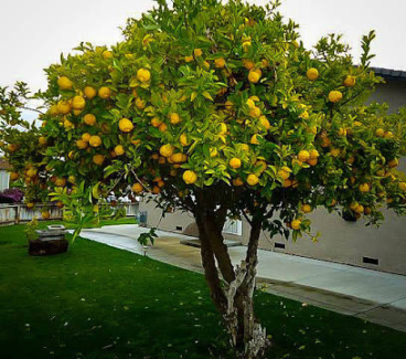 Wanted: Will pay cash for lemon tree