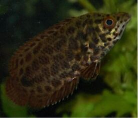Large African Climbing Perch / Leopard Bush Fish for sale