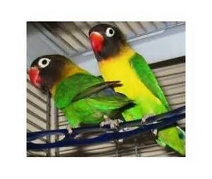 STOLEN - LOVEBIRDS - STOLEN - LOVEBIRDS - STOLEN - LOVEBIRDS Gosnells Gosnells Area Preview