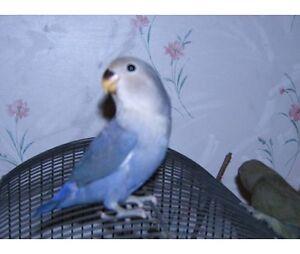 Hand raised super friendly LOVE BIRD BABIES