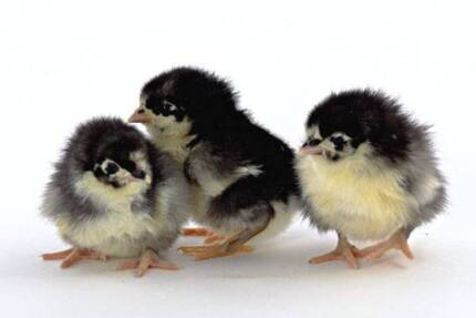 Australorp Chicks (Pure) (Unsexed) Just Hatched 19/8 Mount Barker Area Preview
