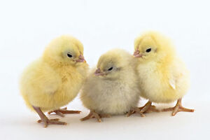 White Plymouth Rock chicks