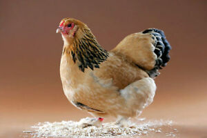 Chicken's Buff Brahma Standard Size Four Months Old