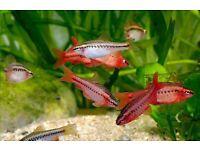 Cherry barb :: tropical :: fish tank :: aquarium