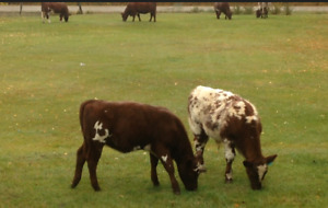 Looking for two steer calves