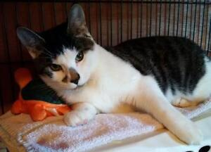 "Young Male Cat - Domestic Short Hair: ""Bow"""