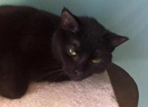 "Adult Female Cat - Domestic Short Hair: ""Erie 12 (PN unknown)"" London Ontario image 2"