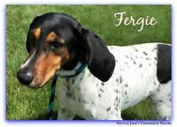 Young Female  - Treeing Walker Coonhound-Bluetick Coonhound