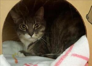"""Adult Male Cat - Domestic Short Hair: """"Jersey"""""""
