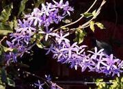 Wisteria Plant