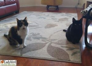 "Senior Female Cat - Domestic Short Hair: ""Scarlett & Mindy"""
