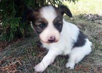 Papillon Puppy Available for Adoption