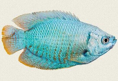 (1) Powder Blue Dwarf Gourmai 1.5 inch  Live Fish  FULLY GUARANTEED