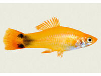 Free to good home a female koi swordtail very similar to the one in the photogragh.