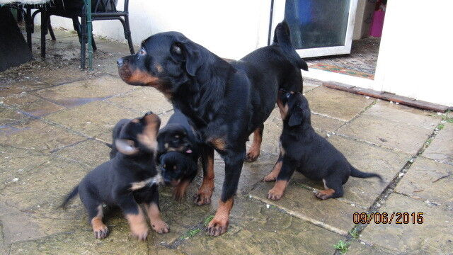 Rottweiler X Boerboel Puppies In Pontypool Torfaen Gumtree