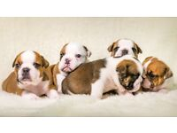 champion sired, English, British bulldogs