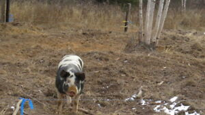 Pasture Raised Pigs For Sale
