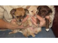 adorable bichon x chihuahua puppies for sale