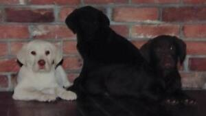 LABRADOR RETRIEVER PUPPIES,THEY HAVE FIRST VACCINATIONS,DEWORMED
