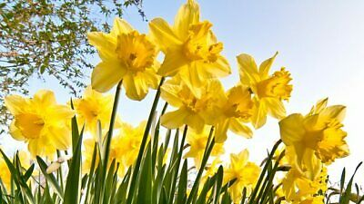 10 FRAGRANT LG WILD YELLOW DAFFODIL BULBS for sale  Doniphan