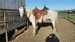 13 year old papered gelding