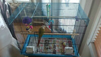 Baby Bird Pineapple Conure 6 months old with cage