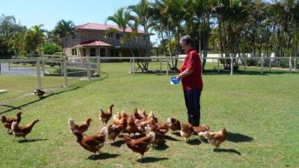 ISA BROWN POINT OF LAY PULLETS {YOUNG HENS} - HURRY ONLY 3 LEFT. Elimbah Caboolture Area Preview