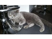 Male BSH for sale
