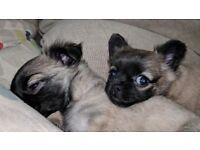 3 Chug puppies!