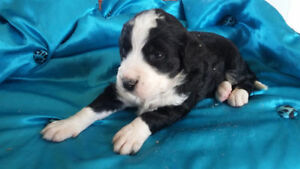 Bernedoodle Puppy Seeks Guardian Home