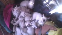 Siamese kittens for sale 300.00