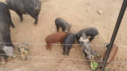 Large black x Piglets Central Goldfields Preview