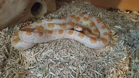 Creamcicle Corn Snake including full setup