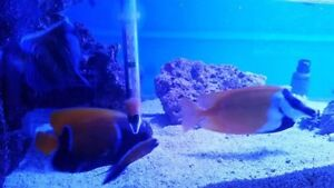 Saltwater livestock for sale 3-7 inches downsizing tank