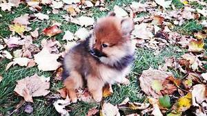 Adorable Purebred Pomeranian Puppies