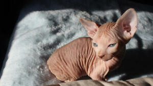 Beautiful Ginger Male Sphynx