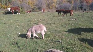 Miniature Jack donkeys (2) $400 each