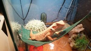 Selling 3 month old bearded dragon and setup.