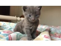 Half Russian blue / British short hair kittens