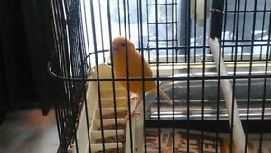 orange male canary about 18 months old..... not color fed