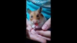 Syrian Hamster+Accessories
