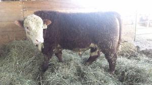Registered Purebred Hereford Bull *** For Sale