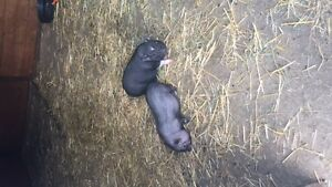 2 potbelly piglets available