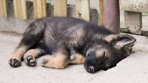 German Shepherd Puppies stolen!!! Reward offered!!! Melbourne CBD Melbourne City Preview