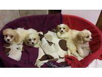 Miniature cavachon pups