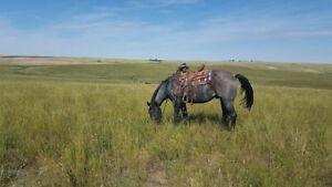 Blue Roan Gelding, ranch horse with heart