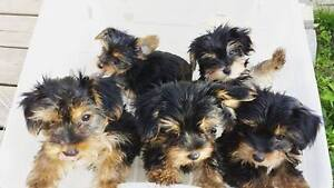 Loving Yorkshire Terrier Puppies for sale (Yorkie)!
