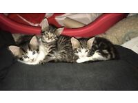 5 kittens 8 weeks