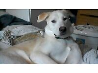 6mth old Husky x Akita