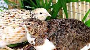 Japanese (coturnix) quail for sale Wagga Wagga Wagga Wagga City Preview